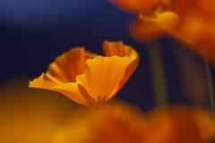 Kalifornien-Mohnblume lizenzfreie stockfotografie