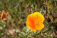 Kalifornien-Mohnblume Stockfotos