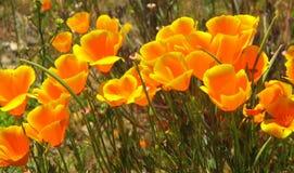 Kalifornien-Mohnblume lizenzfreies stockbild