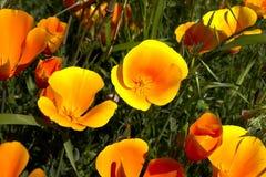 Kalifornien-Mohnblume, eschscholzia californica Stockbild