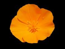 Kalifornien-Mohnblume nach dem Regen Lizenzfreie Stockfotos