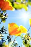 Kalifornien-Mohnblumeblume stockfotografie