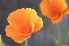 Kalifornien-Mohnblumen stockfotografie