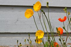 Kalifornien-Mohnblumen Lizenzfreie Stockfotografie