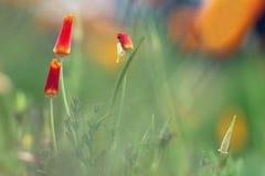 Kalifornien-Mohnblumen Stockfotos