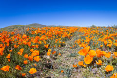 Kalifornien-Mohnblumen - Eschscholzia-californica Lizenzfreies Stockfoto