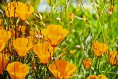 Kalifornien-Mohnblumen Eschscholzia-californica, das auf einer Wiese, Fremont, Süden San Francisco Bay, San Jose, Kalifornien w stockfoto