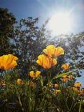Kalifornien-Mohnblumen im Sonnenlicht Stockbild