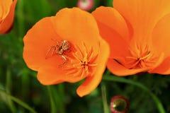 Kalifornien-Mohnblumen mit Spinne lizenzfreie stockbilder