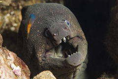 Kalifornien Moray Eel royaltyfri foto