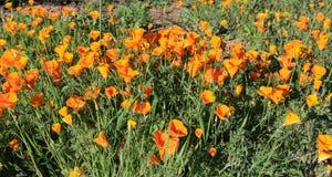 Kalifornien orange vallmovildblommor royaltyfria foton
