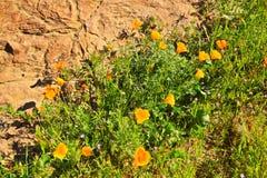 Kalifornien orange vallmovildblommor arkivfoton