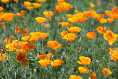 Kalifornien-Orangen-Mohnblumen Lizenzfreies Stockbild