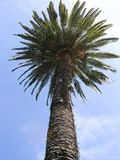 Kalifornien-Palme Lizenzfreies Stockfoto