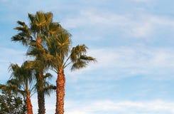 Kalifornien-Palmen Lizenzfreie Stockbilder