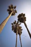 Kalifornien-Palmen mit den Vögeln, die vorbei fliegen Stockfoto