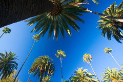 Kalifornien palmträd Royaltyfria Bilder