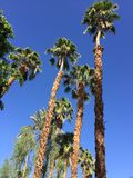 Kalifornien Palmtrees stockfotografie