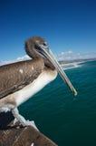 Kalifornien pelikan på pir Arkivbilder