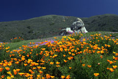 Kalifornien Poppy Field Big Sur Arkivbild