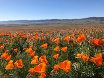 Kalifornien Poppy Flowers Meadow Royaltyfria Foton