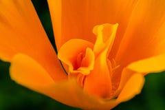 Kalifornien Poppy Swirl Royaltyfria Bilder