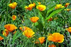 Kalifornien-poppys lizenzfreie stockfotografie