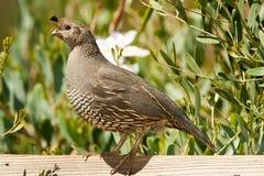 Kalifornien quail arkivbild