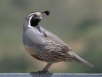 Kalifornien quail Royaltyfria Bilder