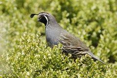 Kalifornien quail Arkivbilder