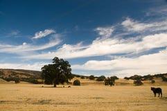 Kalifornien ranchland med nötkreatur royaltyfri foto