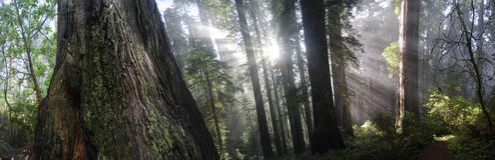 Kalifornien redwoodträd royaltyfria foton