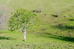 Kalifornien-Rosskastanienbaum in der Natur Lizenzfreie Stockfotografie