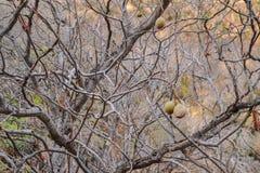 Kalifornien-Rosskastaniensamen in der Natur Stockfoto