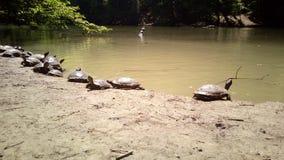 Kalifornien-Schildkröten Lizenzfreie Stockfotografie