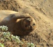 Kalifornien-Seeelefant Lizenzfreie Stockbilder
