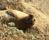 Kalifornien-Seeelefant Stockfotografie