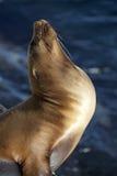 Kalifornien-Seelöwe Stockfoto