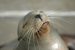 Kalifornien-Seelöwe Lizenzfreie Stockfotos
