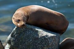 Kalifornien-Seelöwe in der Nachmittagssonne stockbild