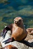 Kalifornien-Seelöwe in der Sonne stockbilder