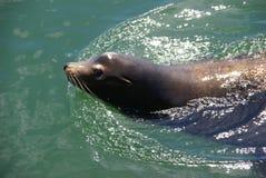 Kalifornien-Seelöwe, schwimmend im Hafen stockbild