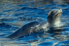 Kalifornien-Seelöwen Stockfoto
