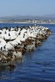 Kalifornien-Seelöwen und Kormorane Stockfoto