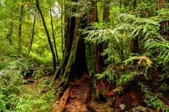 Kalifornien sequoiaträd Arkivbild