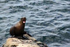 Kalifornien sjölejon Royaltyfria Foton