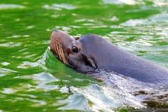 Kalifornien sjölejon Royaltyfri Foto