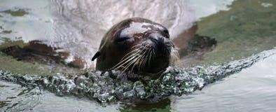 Kalifornien sjölejon Royaltyfri Fotografi