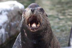 Kalifornien sjölejon Arkivfoto