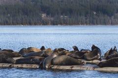 Kalifornien sjölejon på Fanny Bay, östlig Vancouver ö, Bri royaltyfri bild